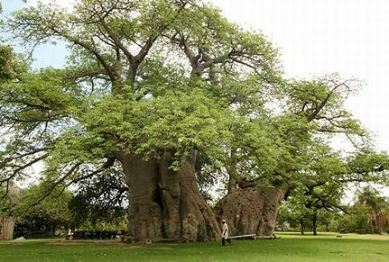 Limpopo_-_Tree